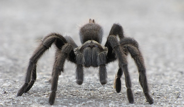 Go For Keeping Tarantulas As Pet