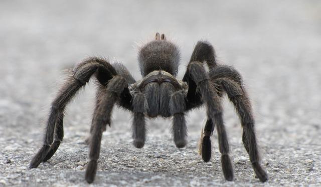 Go For Keeping Tarantulas As Pet
