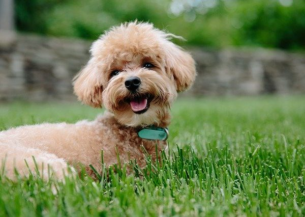 How to Groom a Poodle at Home