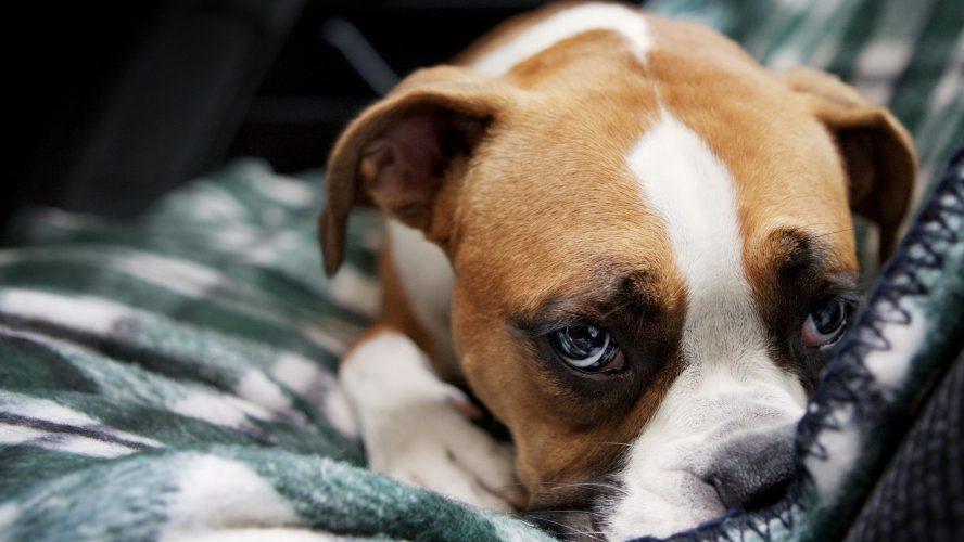 Dog Pimple Simple Natural Remedies