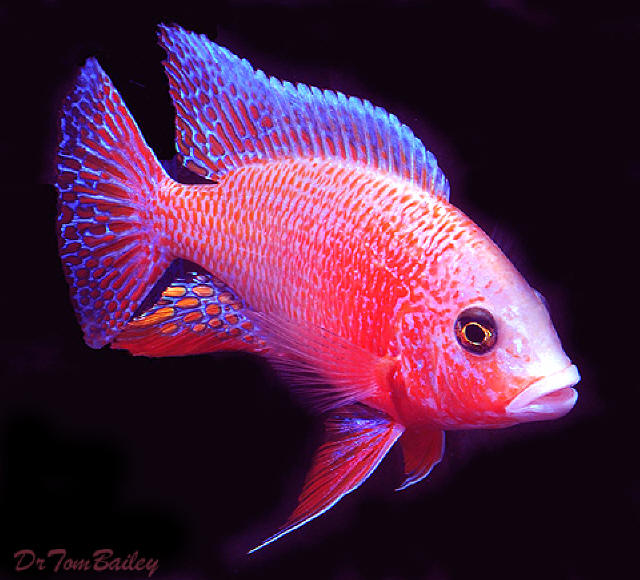 What to Feed African Cichlid Fish?